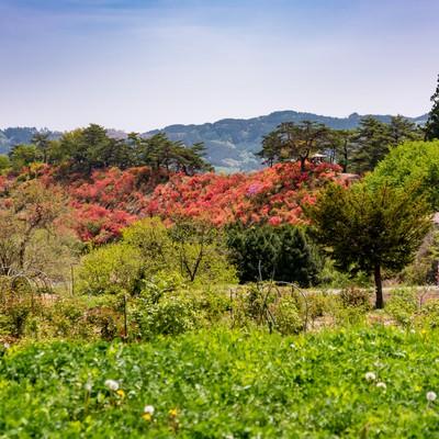 山の傾斜を彩る武石公園のツツジの写真