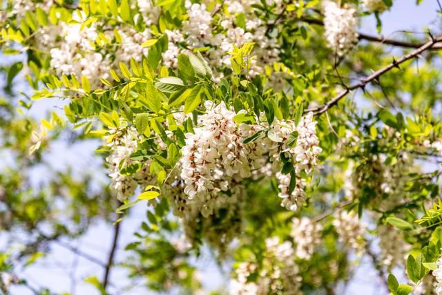 初夏に咲くニセアカシアの花の写真
