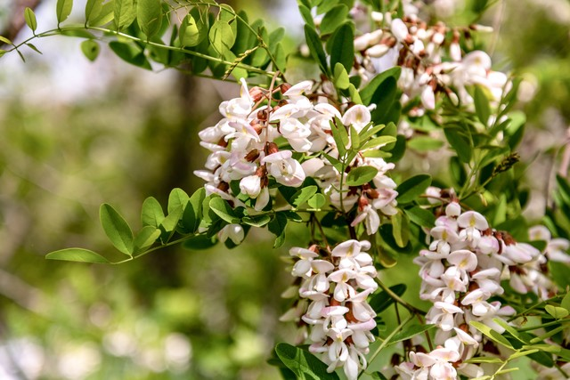 ニセアカシアの花が咲くの写真