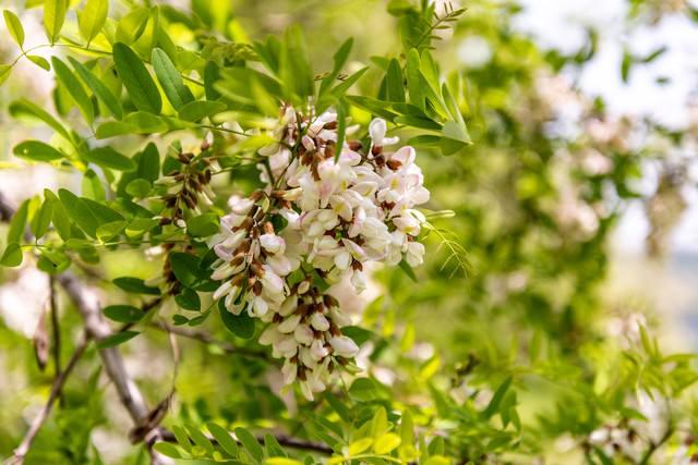 開花を待つニセアカシア(武石川河川敷)の写真