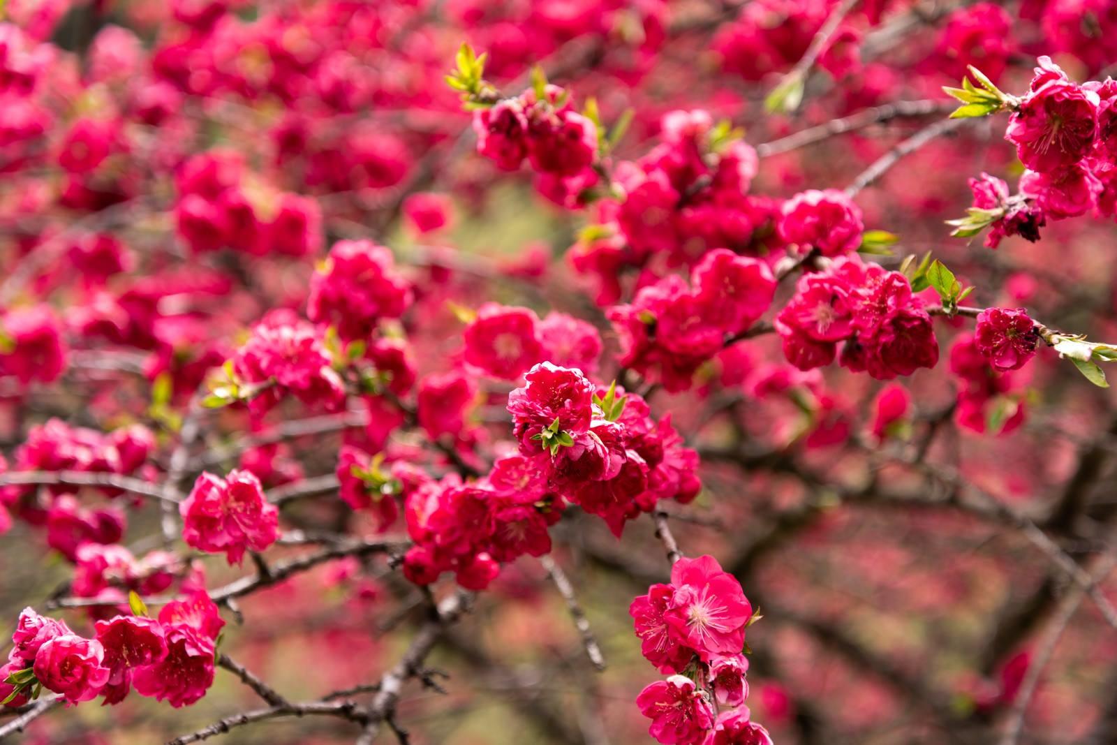 「紅色の花桃(余里の一里)」の写真