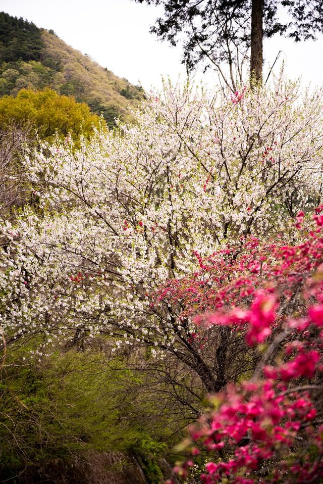 白く咲くハナモモの花(余里の一里)の写真