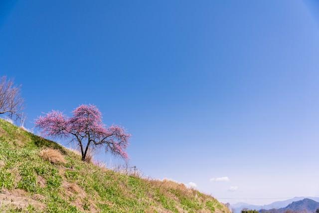 青空と余里のハナモモの写真