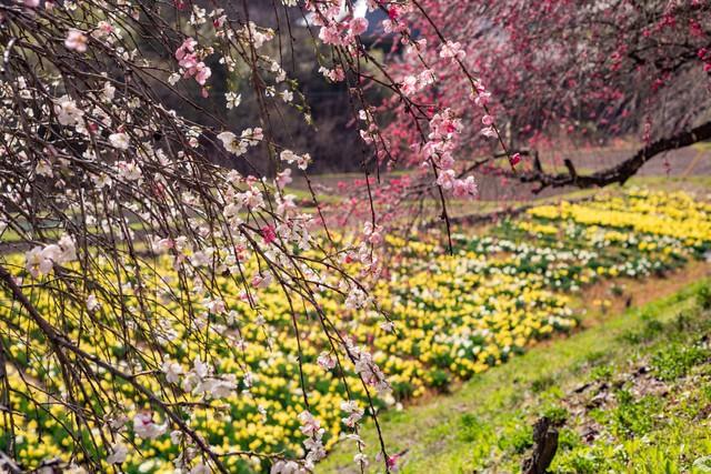 スイセンの花畑と花桃(余里の一里)の写真