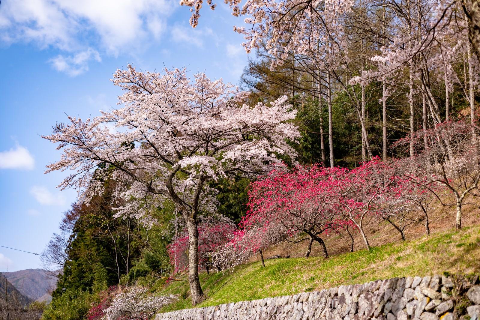 「麓に咲く花桃(余里の一里)」の写真
