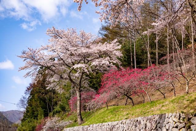 麓に咲く花桃(余里の一里)の写真