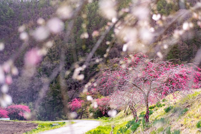 美しいハナモモの木(余里の一里)の写真