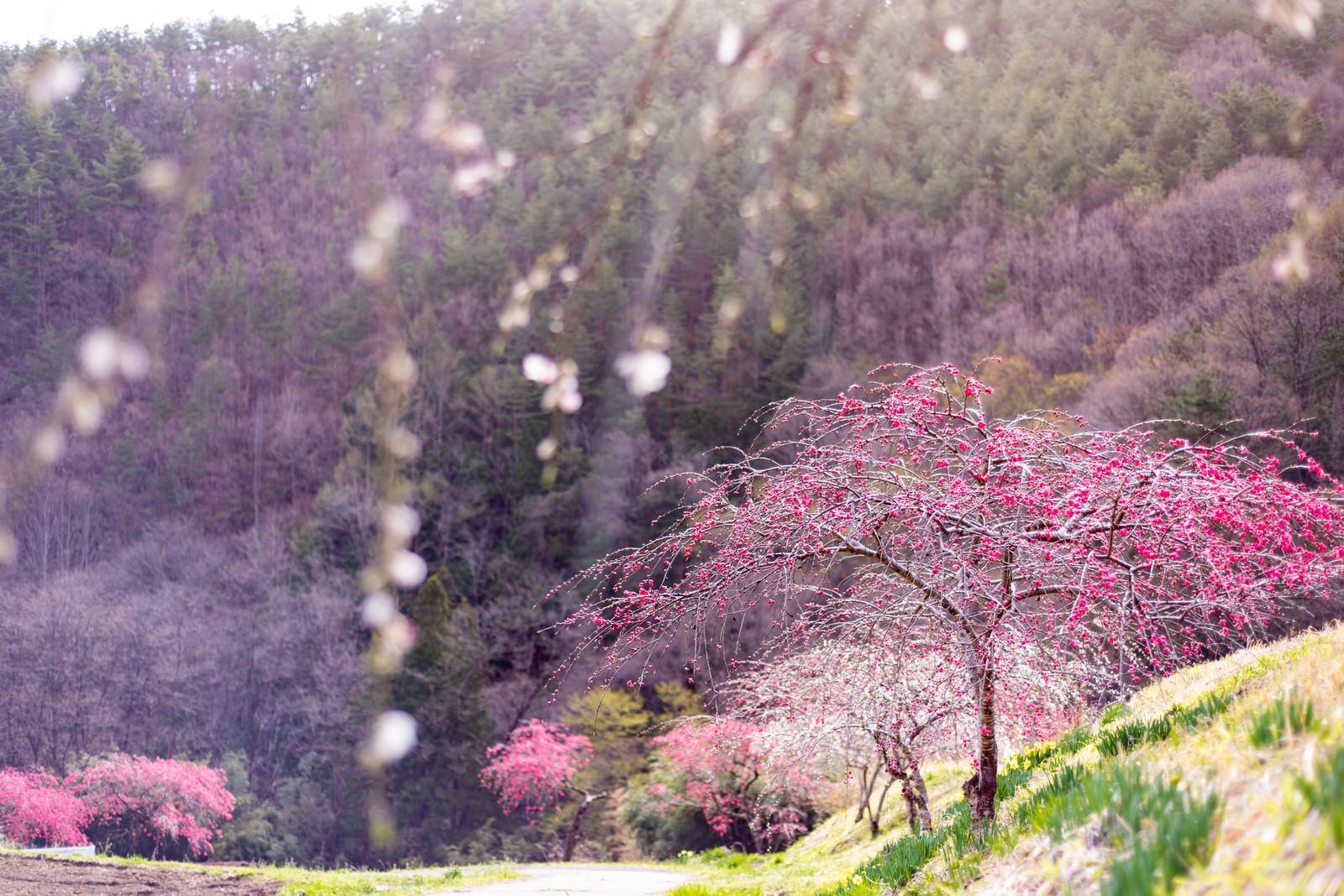 「紅色に染まるハナモモ(余里の一里)」の写真
