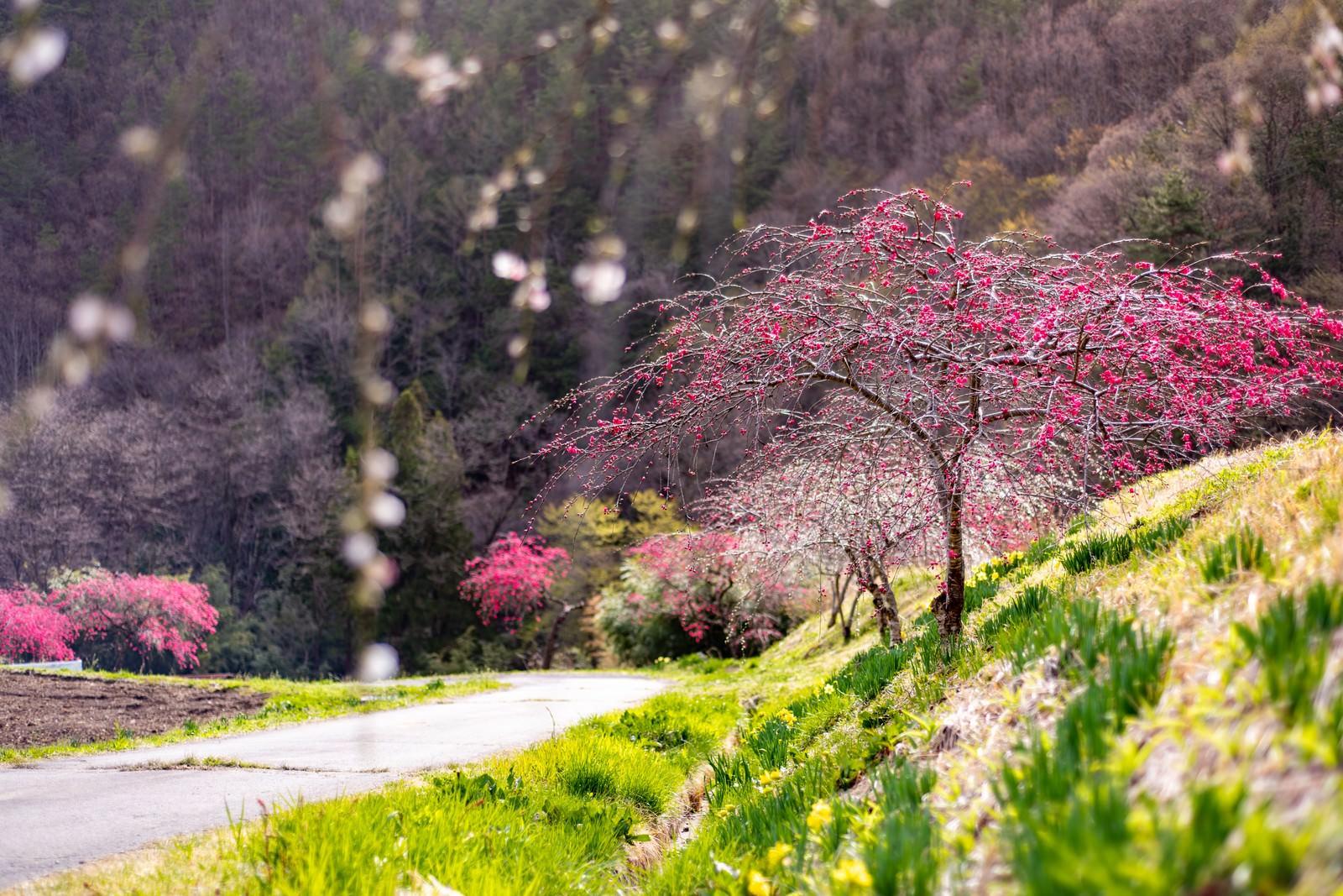 「麓の道沿いに咲くハナモモ(余里の一里)」の写真