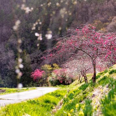 麓の道沿いに咲くハナモモ(余里の一里)の写真