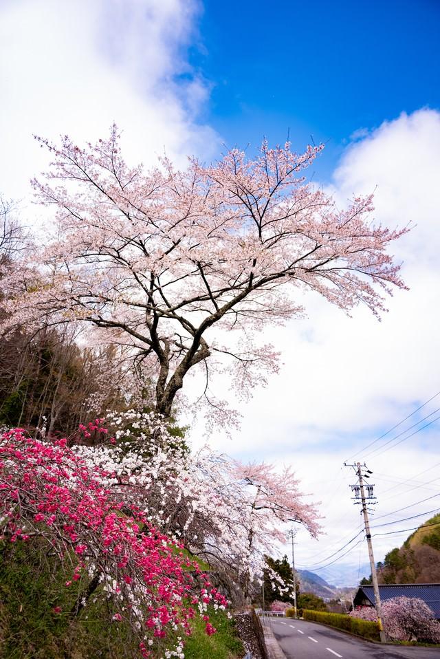 道路沿いに咲く満開のハナモモ(余里の一里)の写真