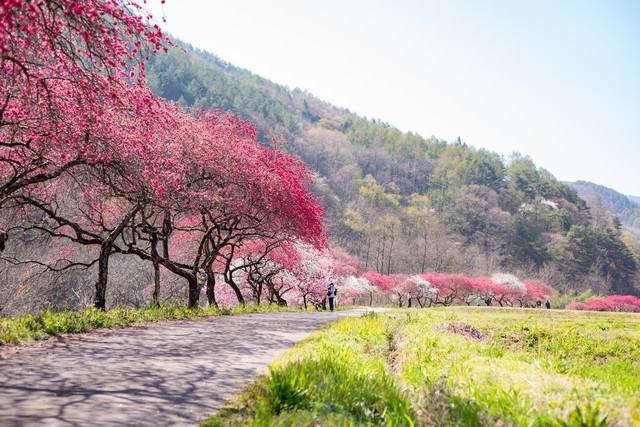 遊歩道沿いに花桃並木(余里の一里)の写真