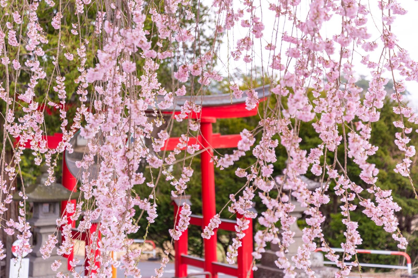 「枝垂れ桜越しに見る鳥居」の写真