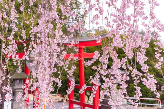 枝垂れ桜越しに見る鳥居の写真