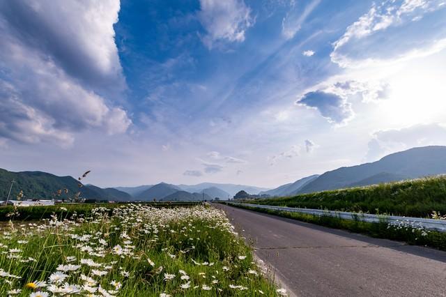どこまでも続く一本道沿いに咲く除虫菊の写真
