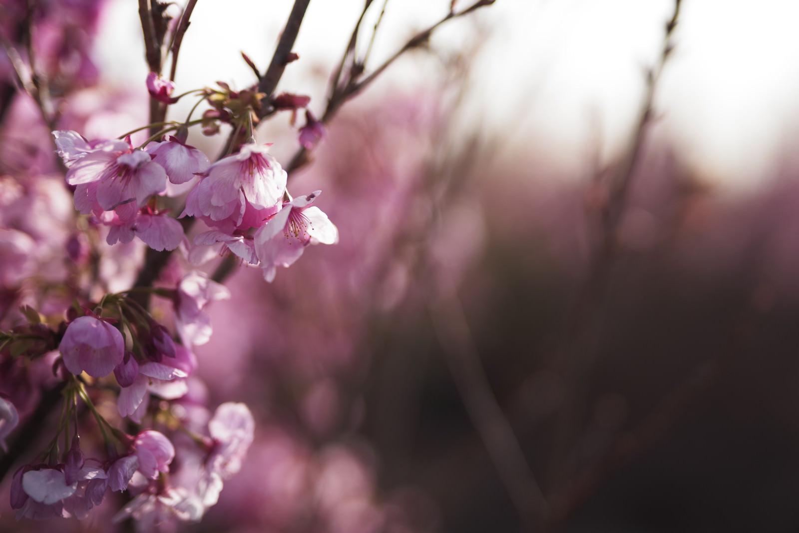 「朝の花畑に咲く桜の花」の写真