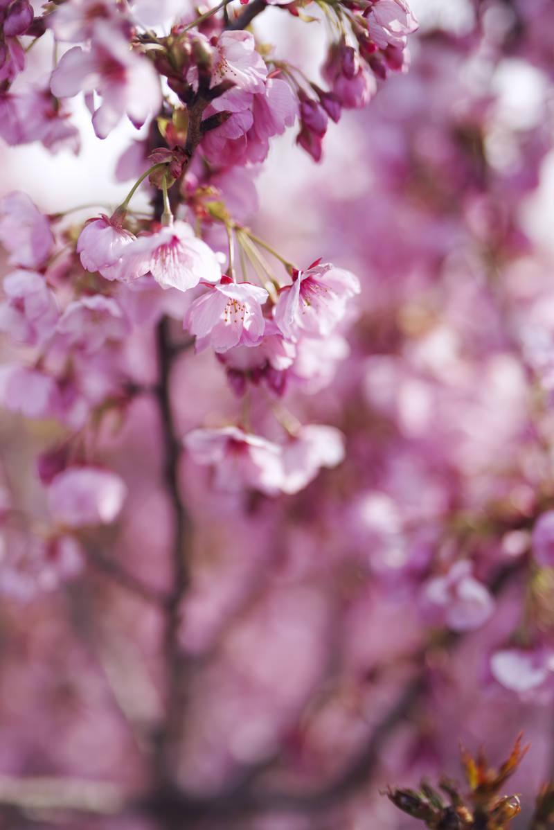「朝日を浴びて花を広げ始める桜」の写真
