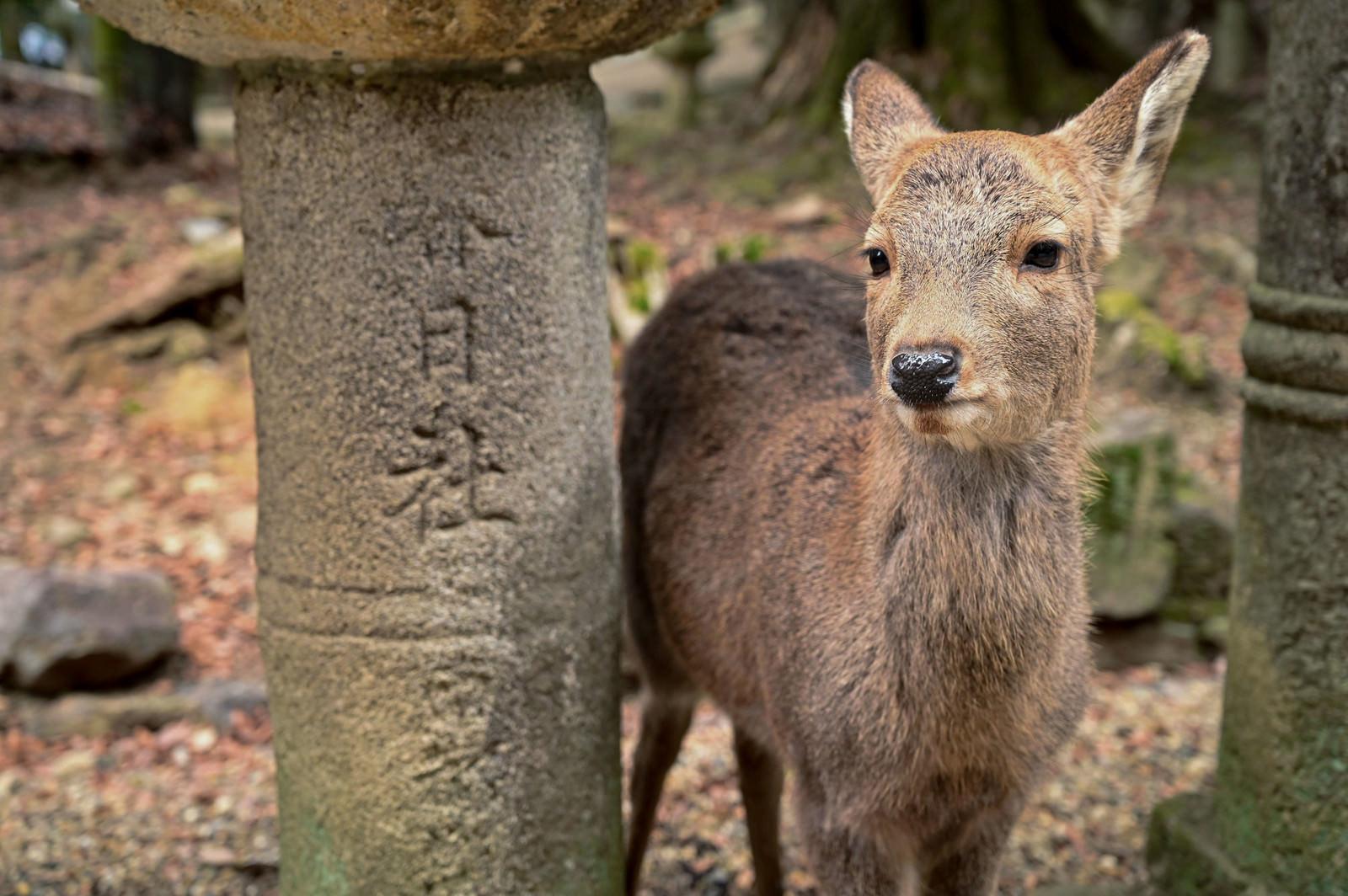 「春日大社の石灯籠の下にいた鹿さん」の写真