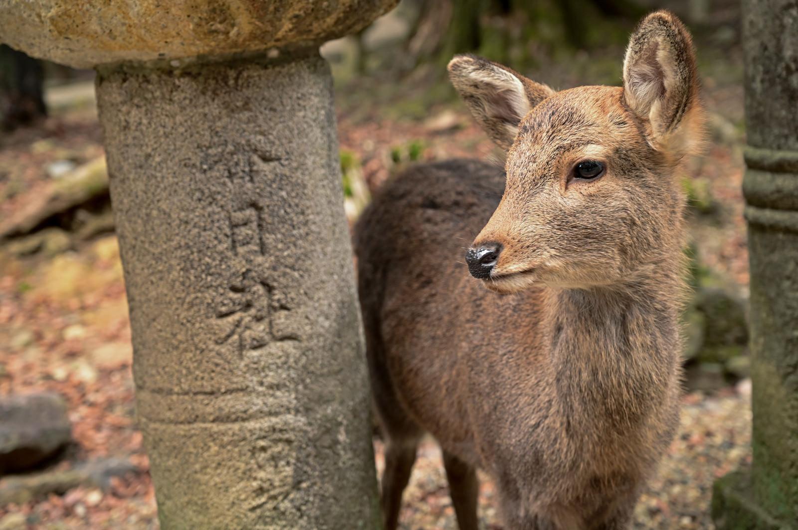 「奈良の春日大社石灯籠とシカ」の写真