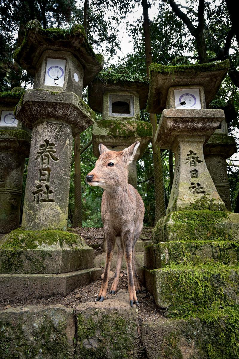 「春日大社の石灯籠と子鹿」の写真