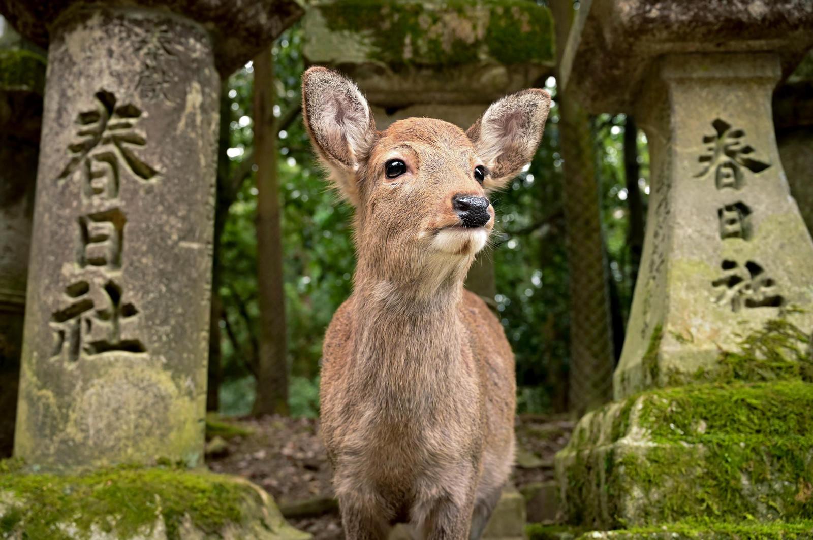 「鹿「せんべいくれんの?」」の写真