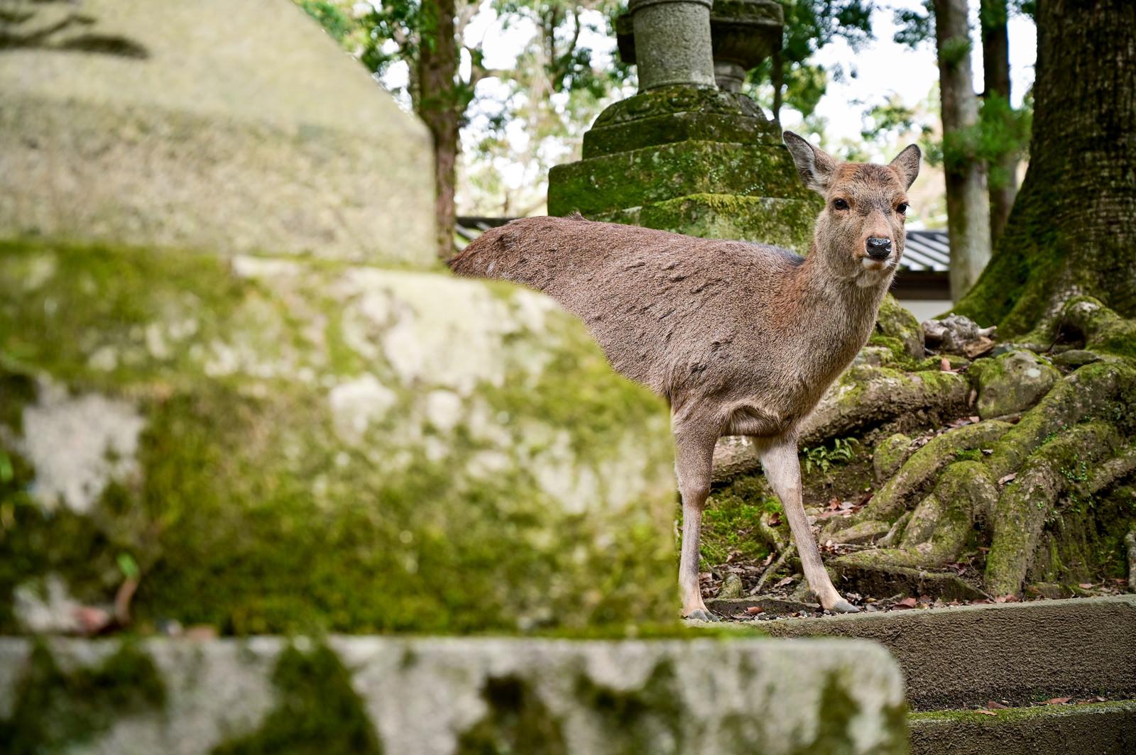 「奈良の鹿があらわれた」の写真
