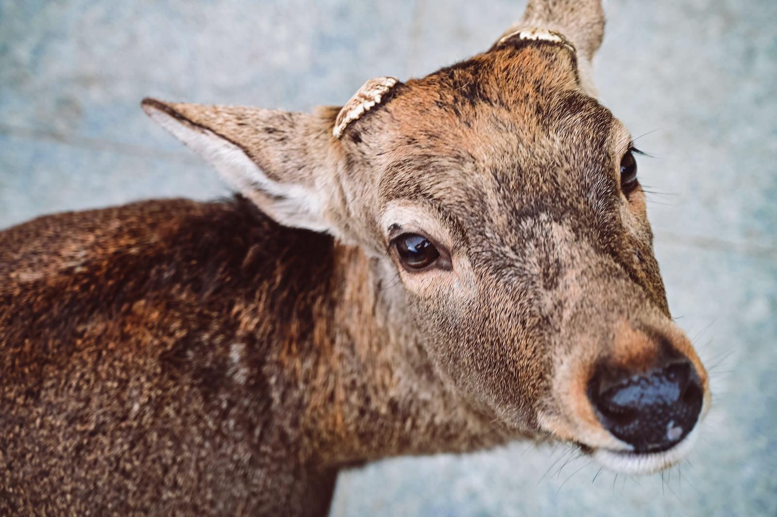 「両ツノがなくなった鹿が近づいてきた」の写真