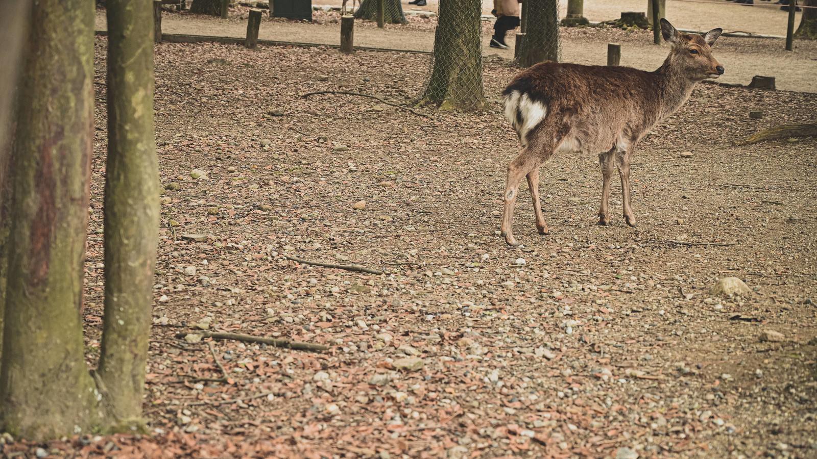 「奈良の公園内を彷徨う鹿」の写真