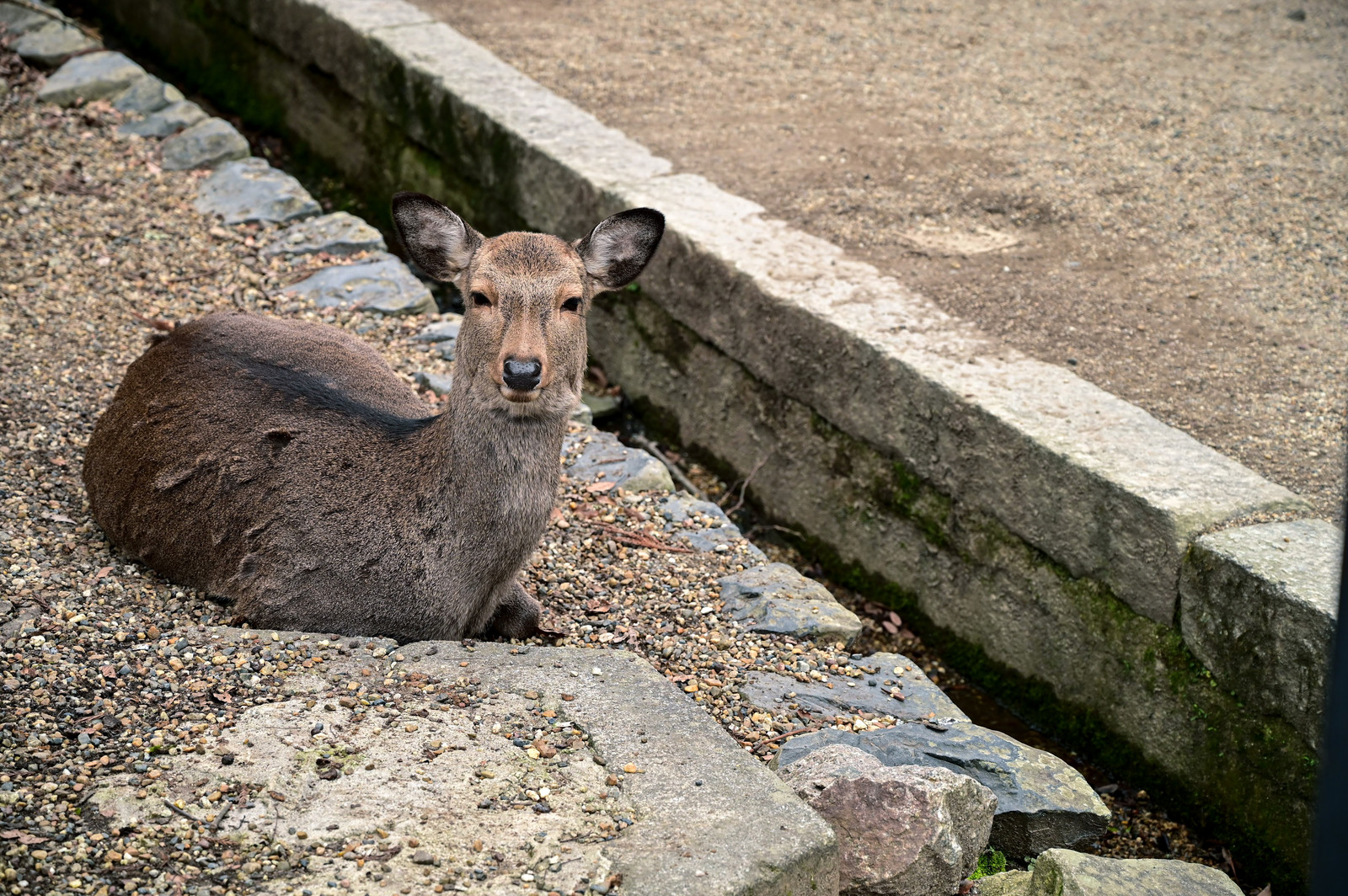 「ぼっち鹿」の写真
