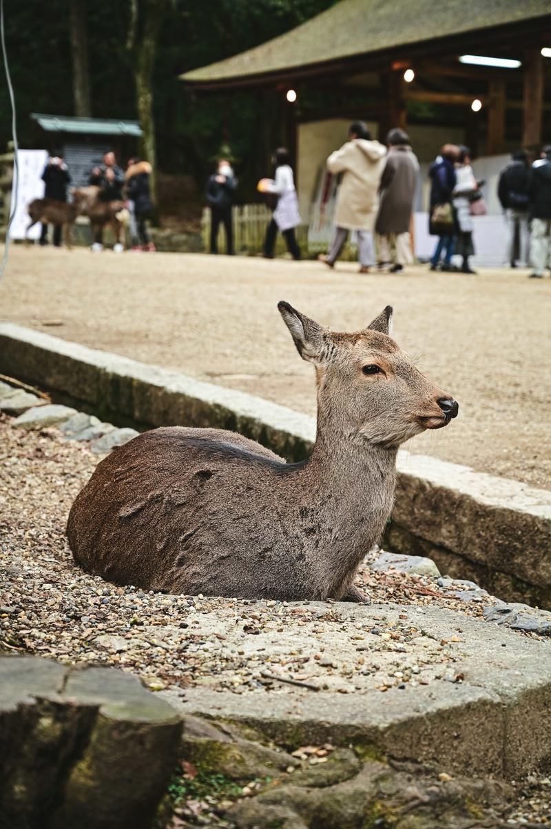 「観光客を眺める奈良の鹿」の写真