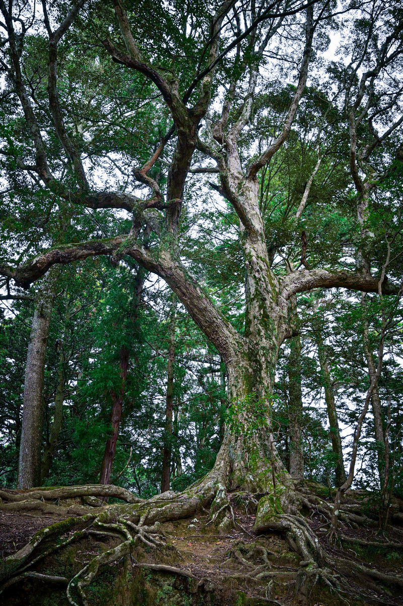 「力強い樹木」の写真