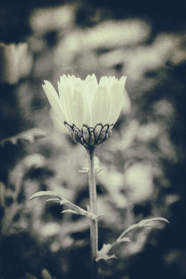 モノクロの一輪の花の写真