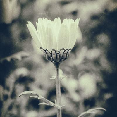 「モノクロの一輪の花」の写真素材