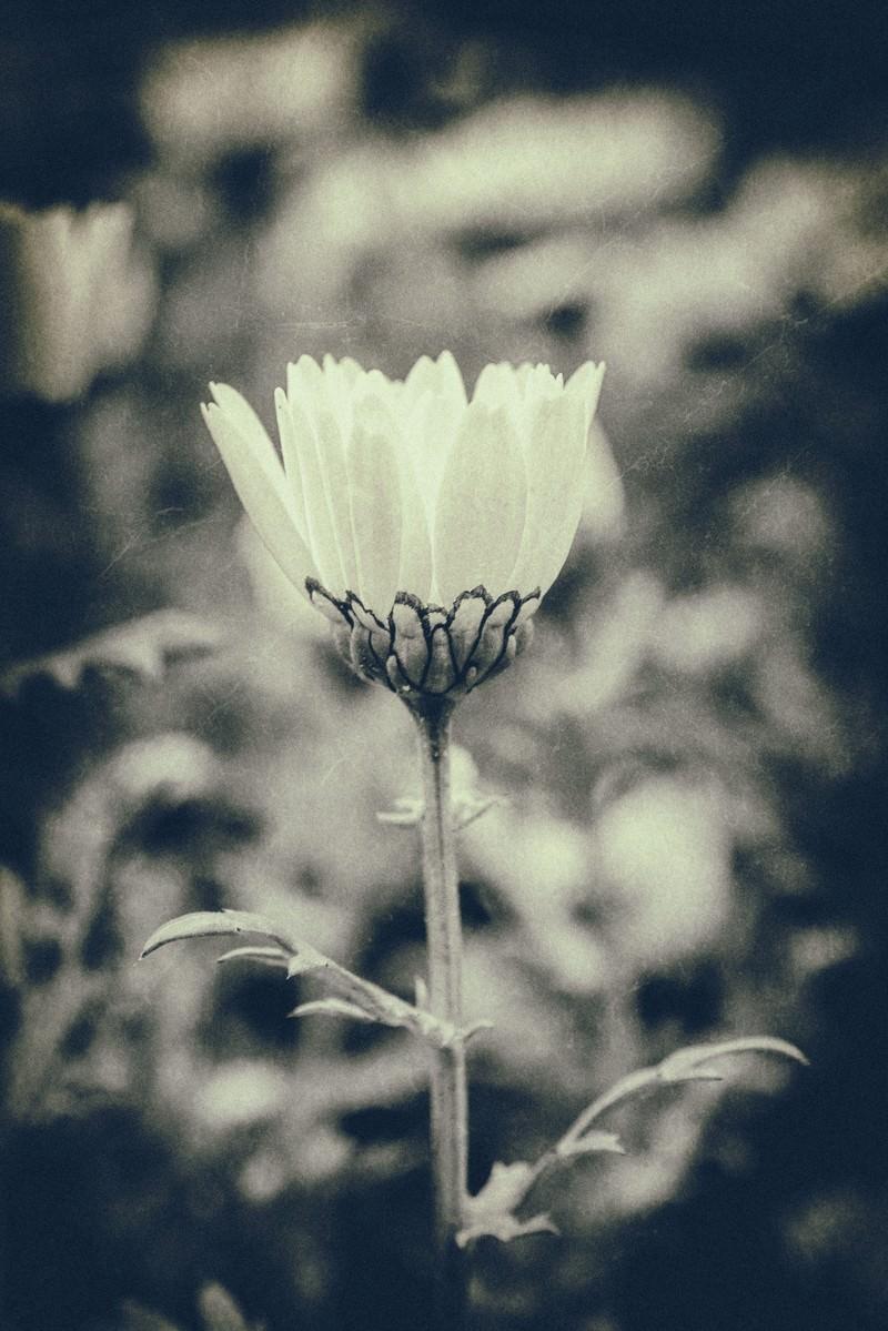 「モノクロの一輪の花」の写真