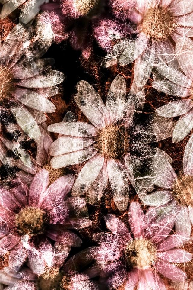 コスモスの花(フォトモンタージュ)の写真