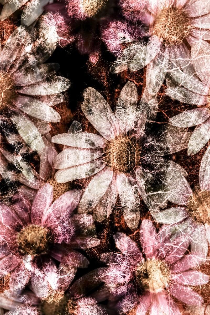 「コスモスの花(フォトモンタージュ)」の写真