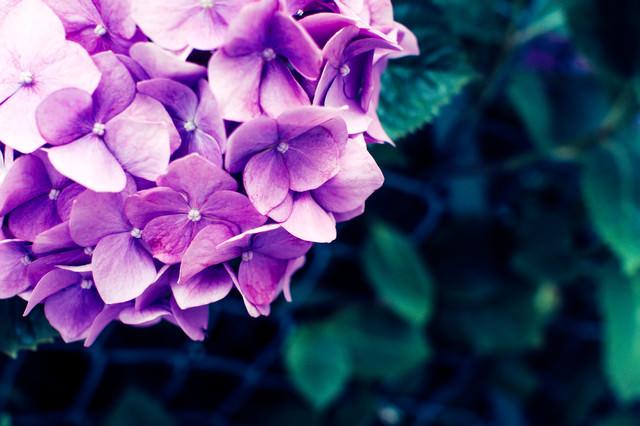 あじさいの花の写真