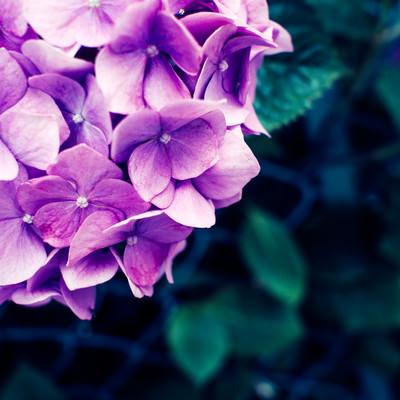 「あじさいの花」の写真素材