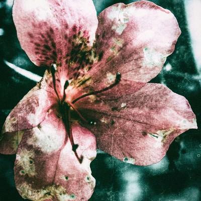 「枯れた花(フィルム写真)」の写真素材