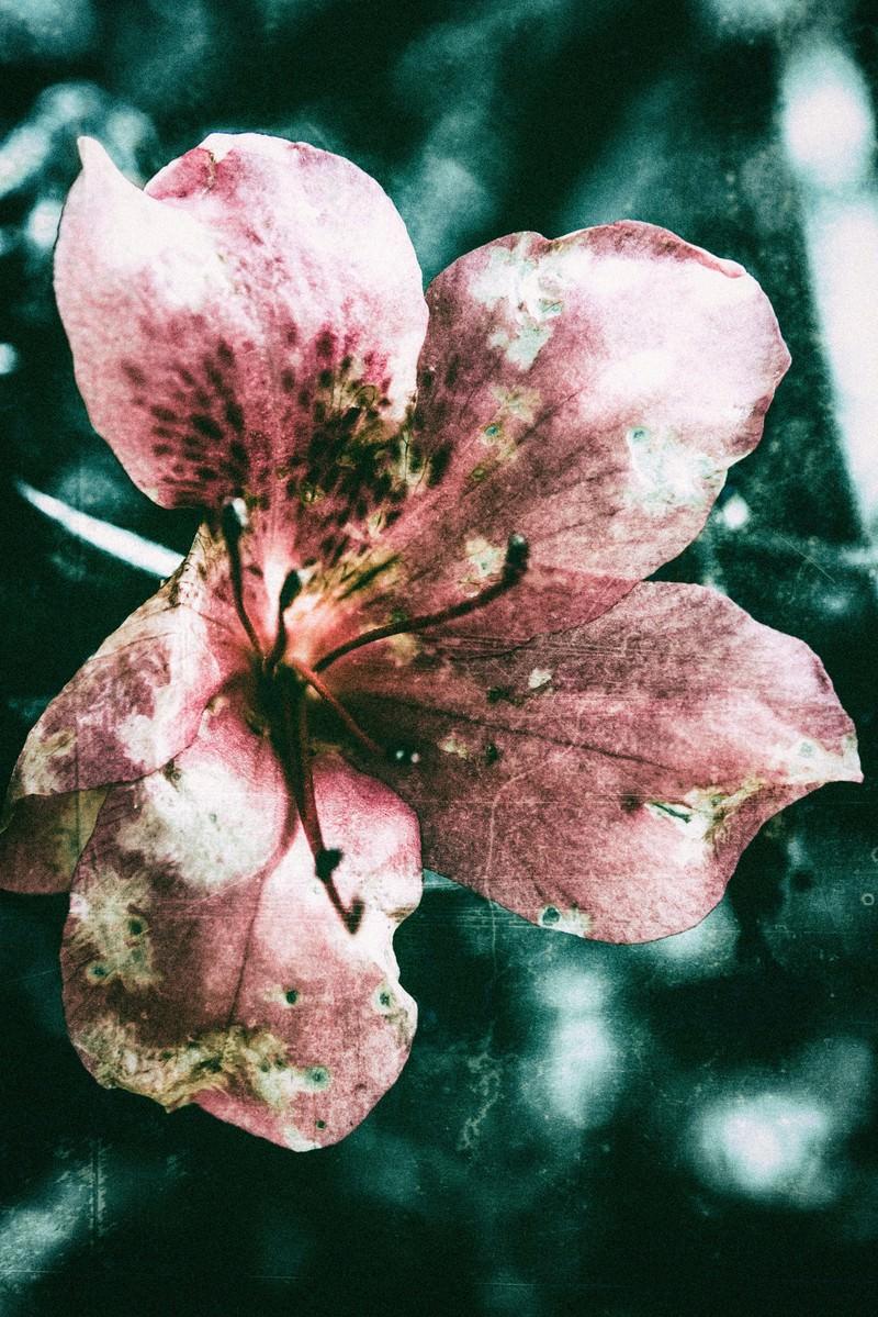 「枯れた花(フィルム写真)枯れた花(フィルム写真)」のフリー写真素材を拡大