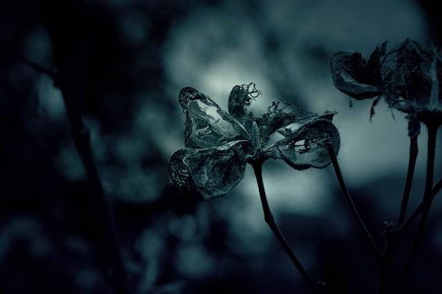 「朽ちゆく花」のフリー写真素材