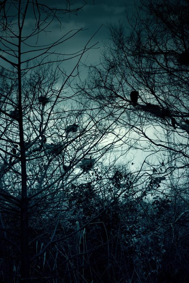 雑木林と不気味なカラスの巣の写真