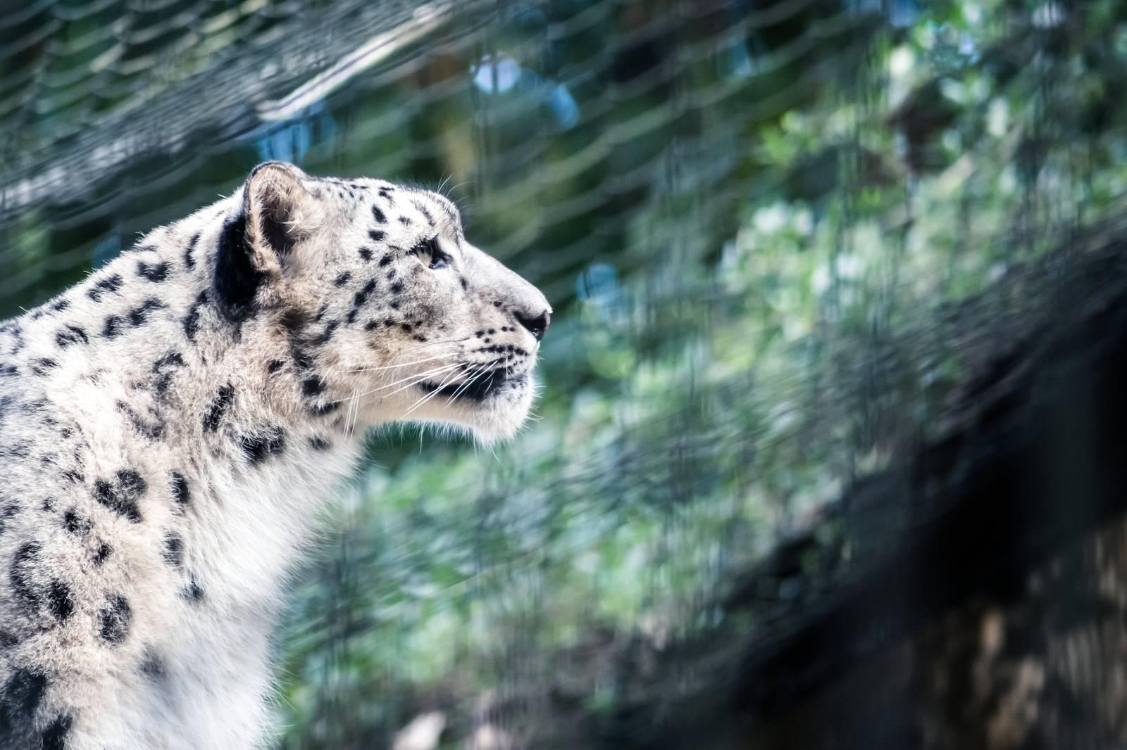 「ジャガーの横顔ジャガーの横顔」のフリー写真素材を拡大