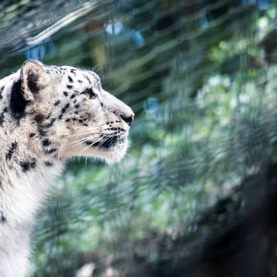「ジャガーの横顔」の写真素材