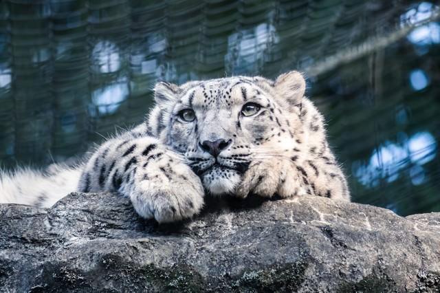岩場でくつろぐ豹の写真