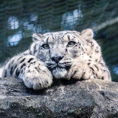「岩場でくつろぐ豹」の写真素材