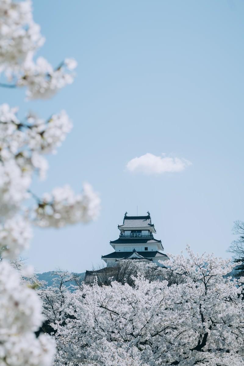 「桜咲く春の鶴ヶ城」の写真