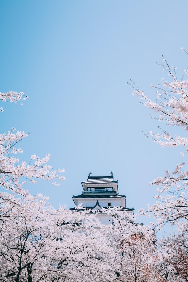 「桜並木から顔を出す鶴ヶ城(福島県会津若松市)」の写真