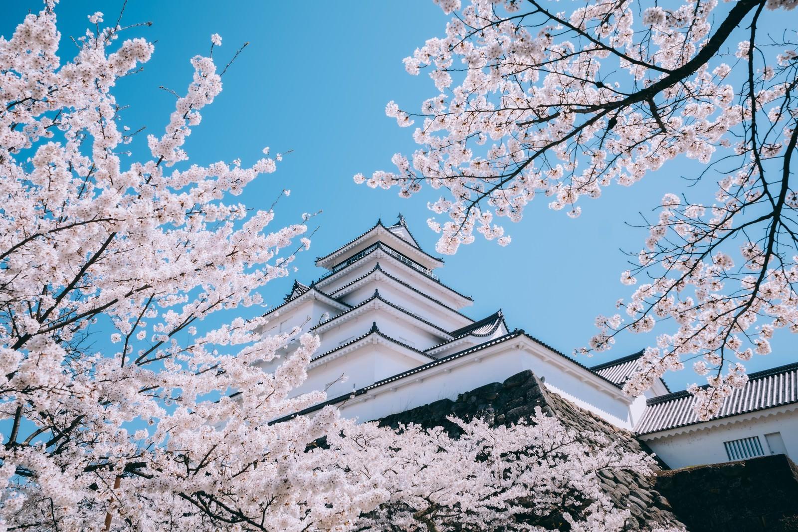 「見上げた桜と鶴ヶ城(福島県会津若松市)」の写真