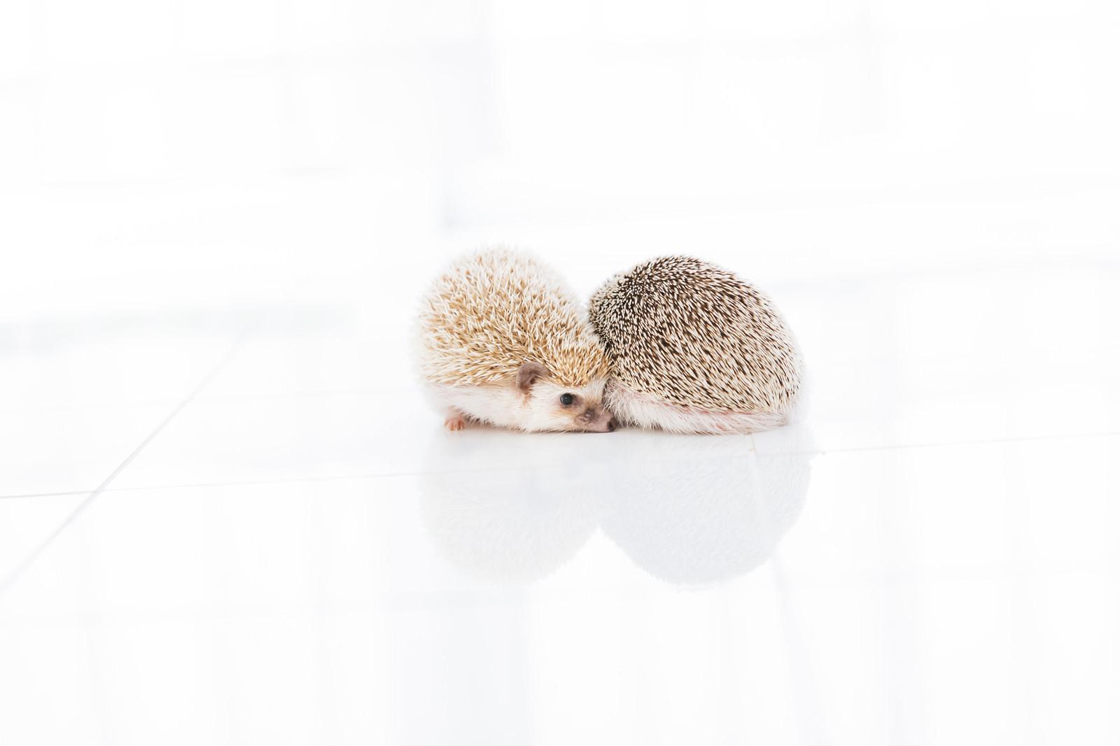 「ギュッ と寄り添うハリネズミ」の写真